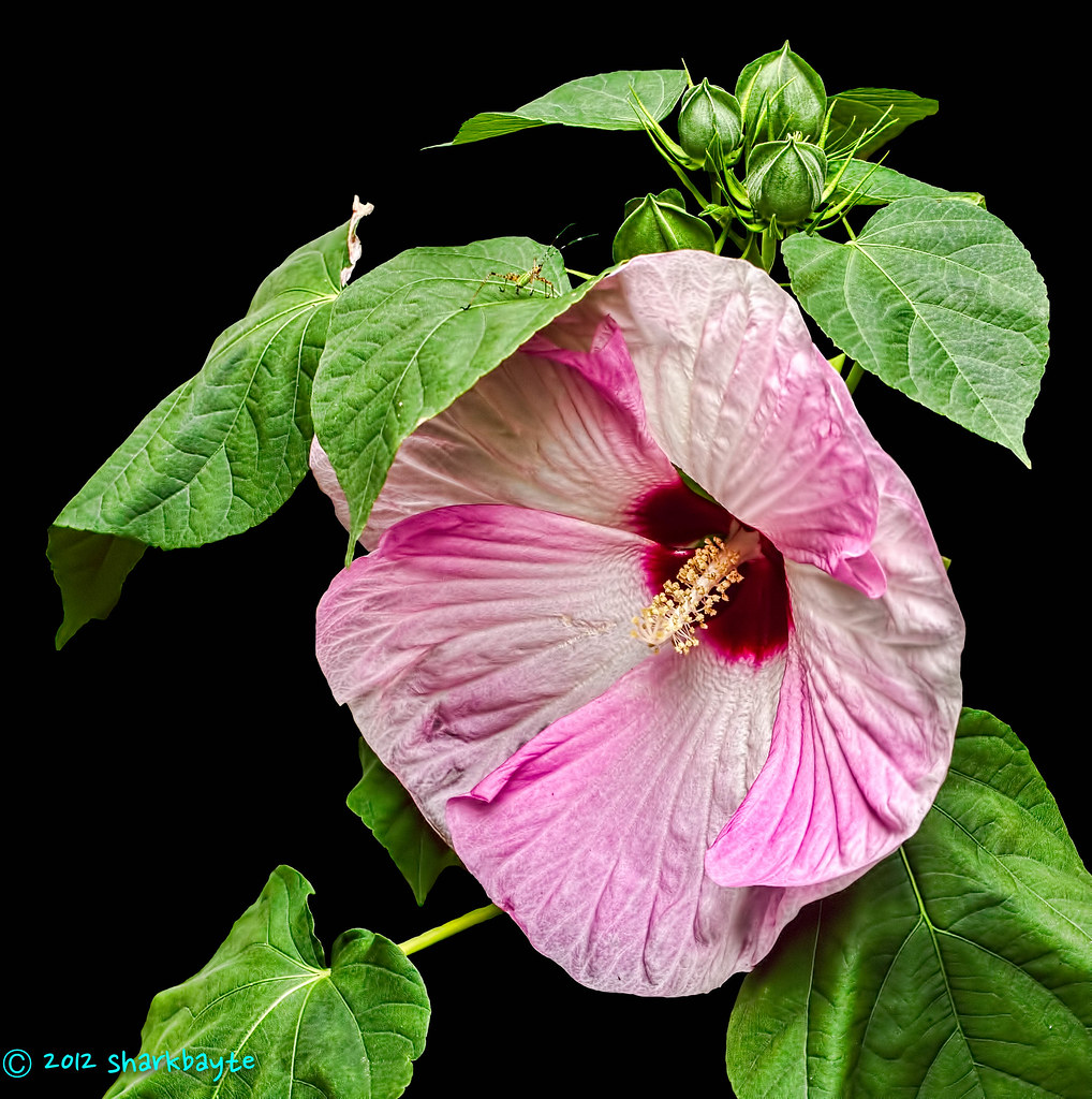 New Flowers Dinner Plate Hibiscus Hibiscus Moscheutos Flickr