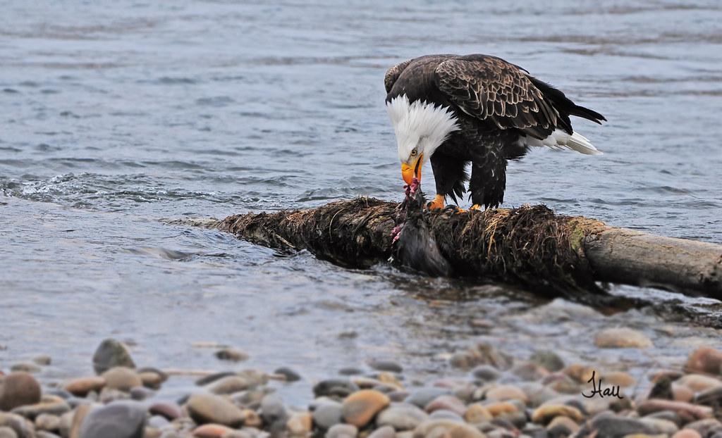 Eagle Eating Snake Snake River Bald Eagle