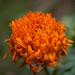 "IMG_0008_20120502 ""Marigold Flower"""