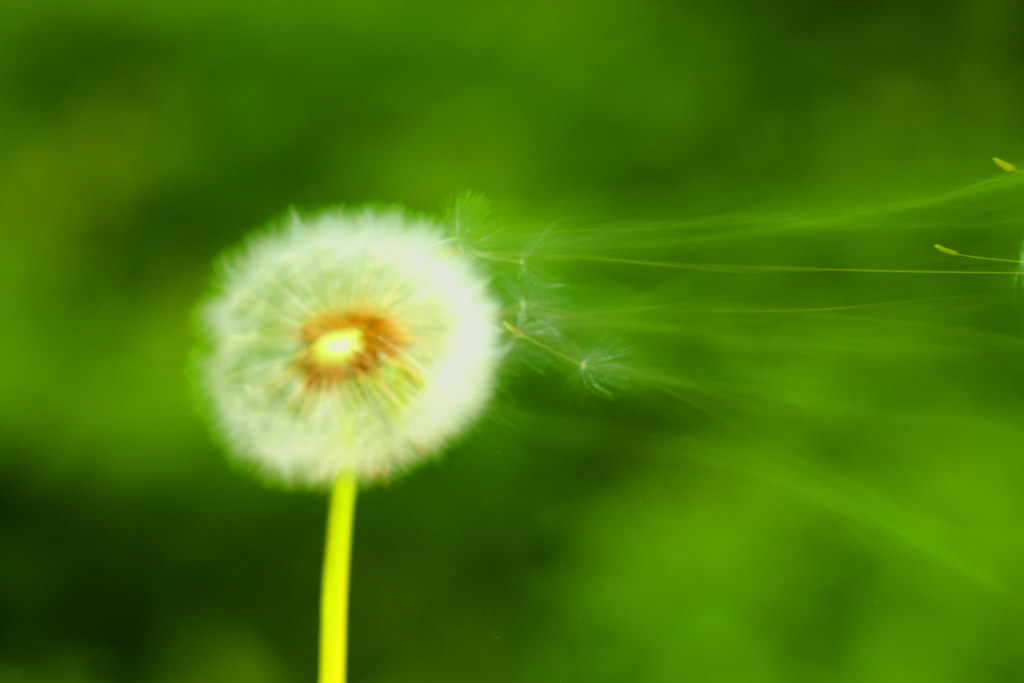 Dandelions Blowing in The Wind Photography Dandelion Blowing in The Wind