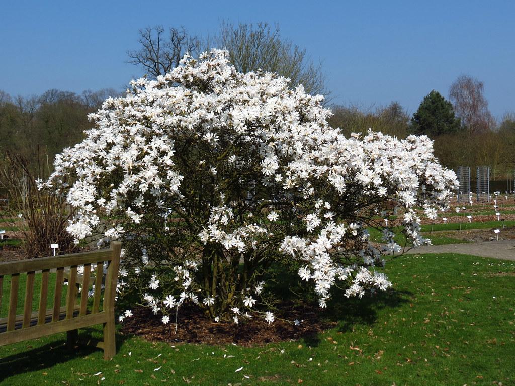 magnolia stellata national botanic garden of belgium herb flickr. Black Bedroom Furniture Sets. Home Design Ideas