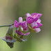 Fabaceae sp.