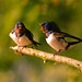 Evening Argument (Swallows)