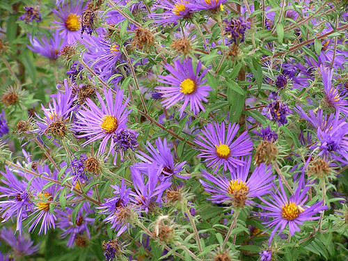 8881 New England Asters | by lcm1863
