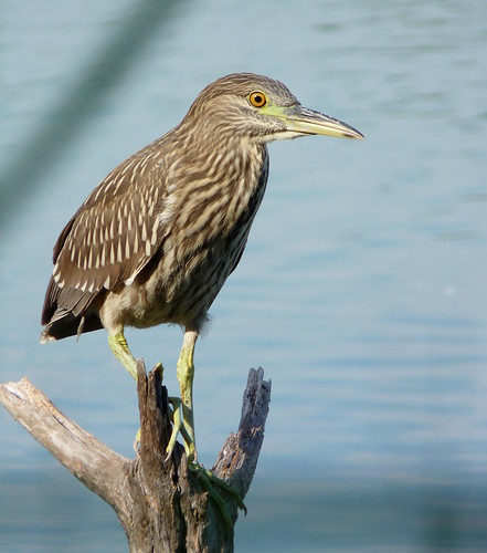 Yellow-crowned Night-Heron at Jamaica Bay Wildlife Refuge | by Dendroica cerulea
