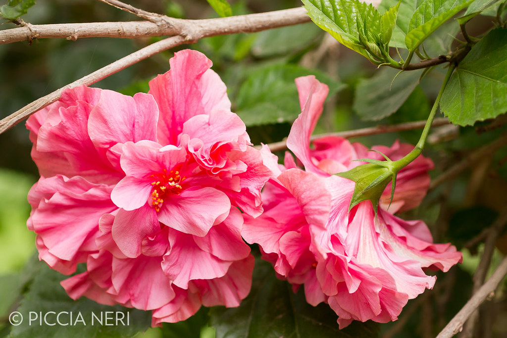 A type of woody hibiscus bush with large beautiful pink f flickr a type of woody hibiscus bush with large beautiful pink flowers with many petals mightylinksfo