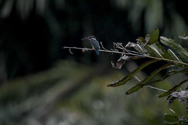 The common kingfisher. Sky's turning dark and it got tougher to shoot the birds but...