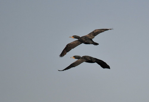 Double-crested Cormorants in flight | by Ruthie Kansas