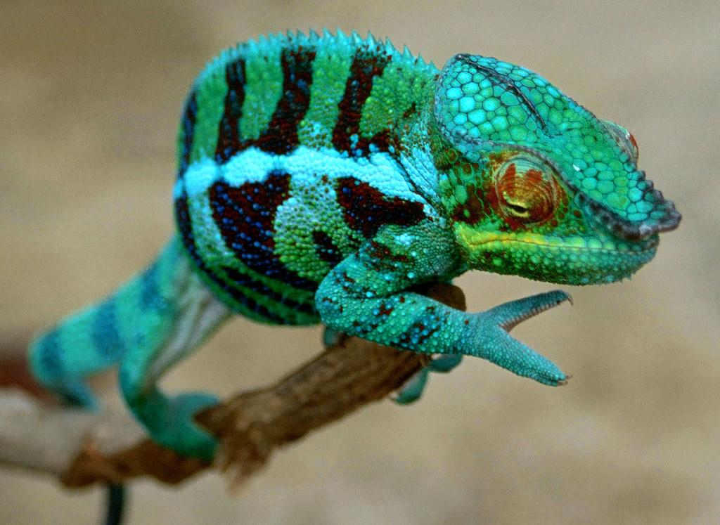 Panther Chameleon (Furcifer pardalis) | Found near near a ...