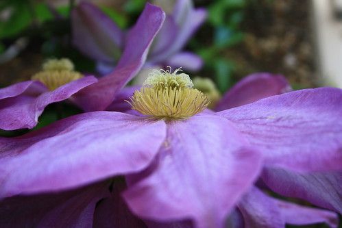Clematis | by Knight Lightness