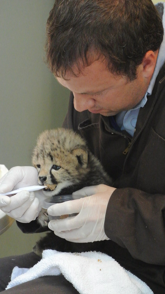 Bottle feeding | Cheetah cub with Cheetah Conservation ...