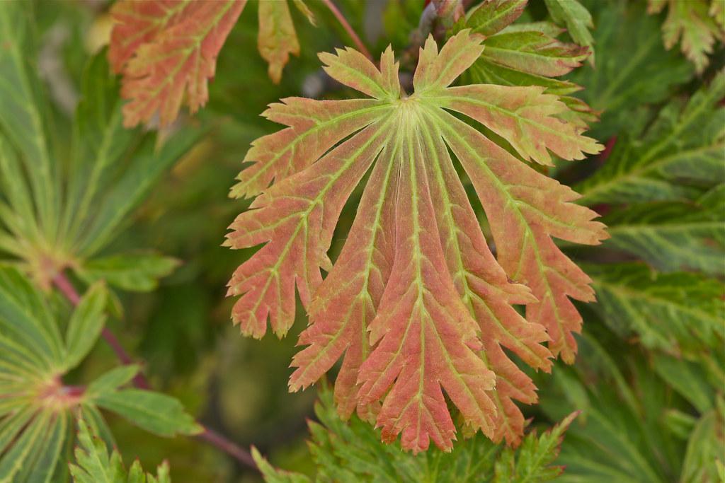 juvenile spring leaf fern leaf full moon maple acer japon. Black Bedroom Furniture Sets. Home Design Ideas