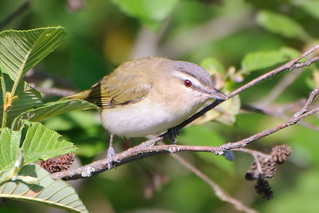 Red-eyed Vireo | by Jim McCree