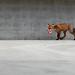fox and cigarettes (part 2) @ urban nature Leipzig 2012