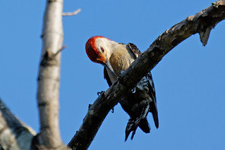 Red Bellied Woodpecker 1 | by baldheretic