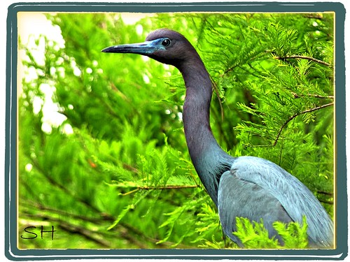 Little Blue Heron | by Suzanham