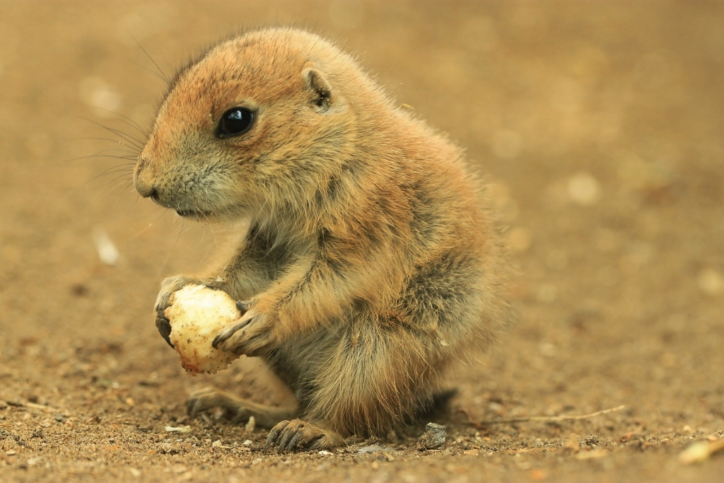 Baby Prairie Dog | Drusillas Park | Philip Harris | Flickr