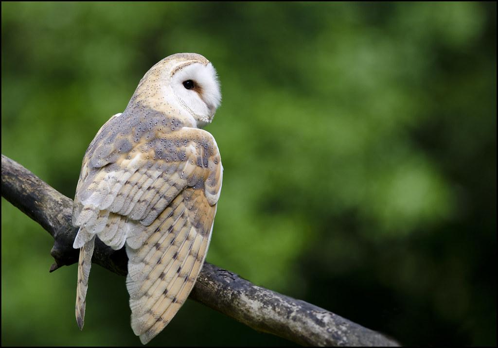 Barn owl 12