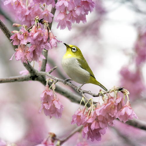 F_DSC_5666-綠繡眼-Japanese White-eye | by May-margy