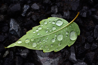 Raindrop Leaf | by hpaich