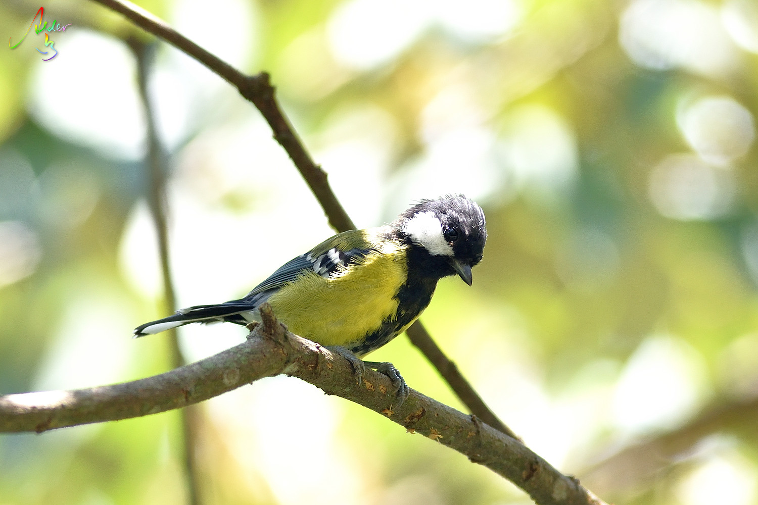 Green-backed_Tit_7762