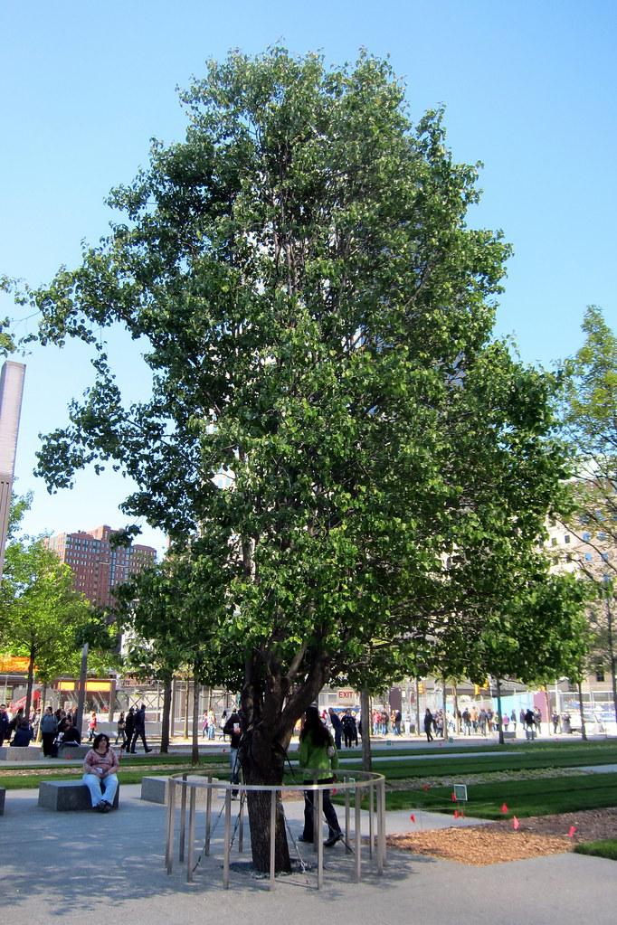 Living In A Van >> NYC: National September 11 Memorial - Survivor Tree   Flickr