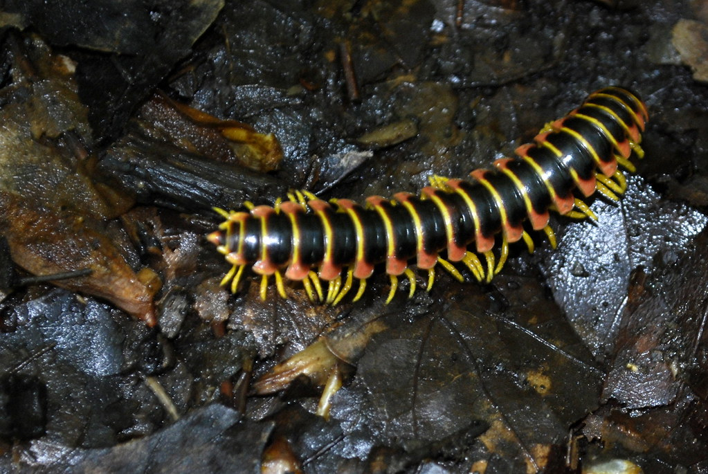 Possibly Rusty Millipede - What's That Bug?