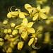 Flower portraits — Yellow shonalu