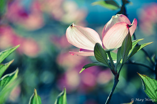 Pink Dogwood [Explored] | by maywong_photos