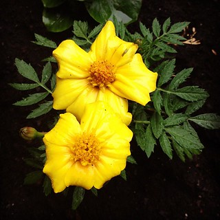 Freshly planted flowers in my moms garden #flowers #yellow #soil #garden | by dandipuffs