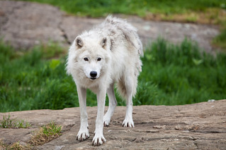 Arctic Wolf | by Randall Howlett