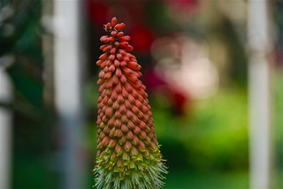 Red Hot Poker Bokeh! | by ineedathis, Everyday I get up, it's a great day!