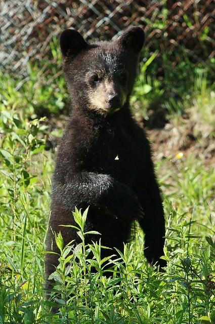 Baby Black bear | Flickr - Photo Sharing! - photo#6