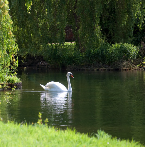 Swan at Ansty, Wilts | by chris-parker