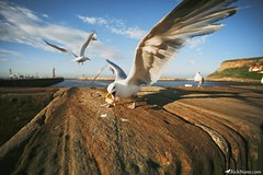 A Whitby Gull