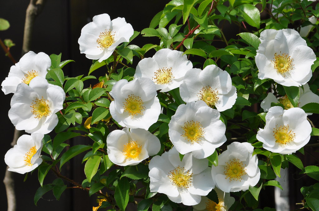 Cherokee Rose Rosa Laevigata Kyoshiok Flickr