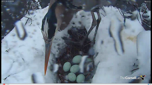 Great Blue Heron nest in snow