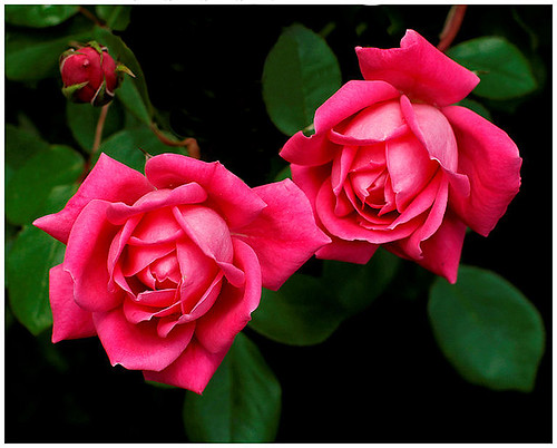 Two Roses | by R. J. Hannapple