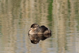 ...ikkle Little Grebe | by Cosper Wosper