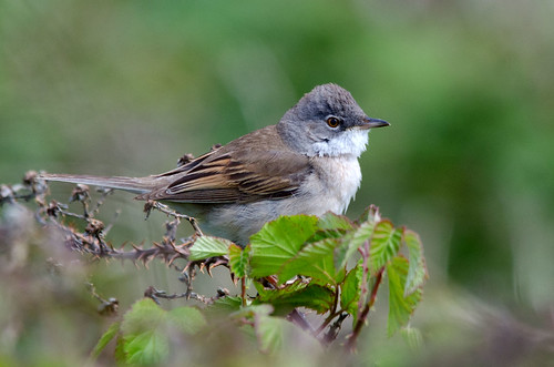 Whitethroat | by @JPD_Photography