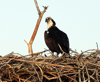 At Home With Mrs. Osprey | by Brody J