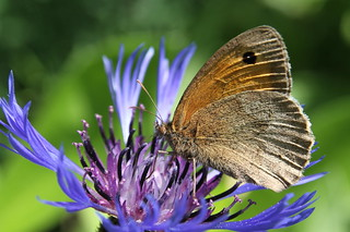 Meadow Brown Butterfly, Garden, Warwickshire | by Andy_Hartley