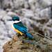 Sacred Kingfisher_5388.jpg