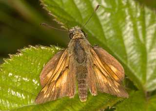 An Old Male Large Skipper ~ Ochlodes sylvanus | by An Old Barbie Doll