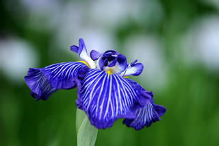 "Japanese Iris ""Mr. Dandy"" 