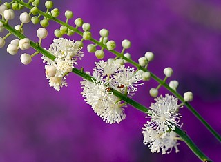 White & Purple | by Karen_Chappell