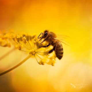 Summer bee | by Studyjunkie