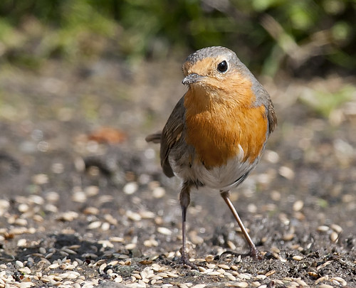 Robins Galore | by Crieffy.