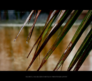 Rain Drop | by Rahul_Ramakrishnan