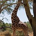 IMG_0941_Reticulated Giraffe